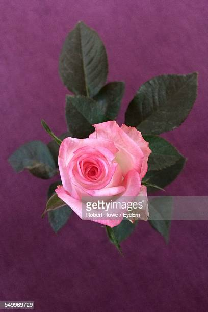 Directly Above Shot Of Pink Rose Blooming At Home