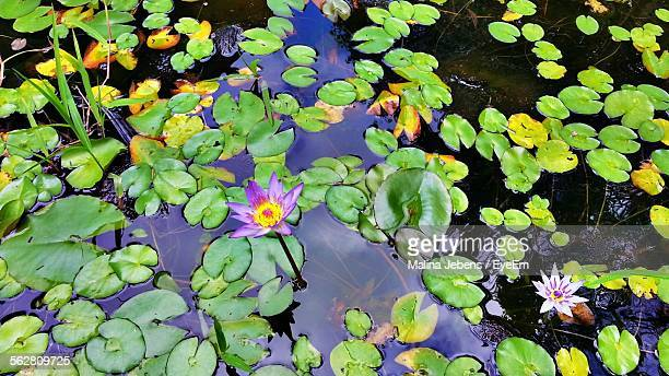 Directly Above Shot Of Purple Waterlily Flowers In Pond