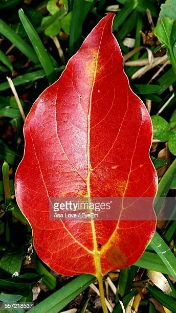Directly Above Shot Of Red Dry Leaf On Grass