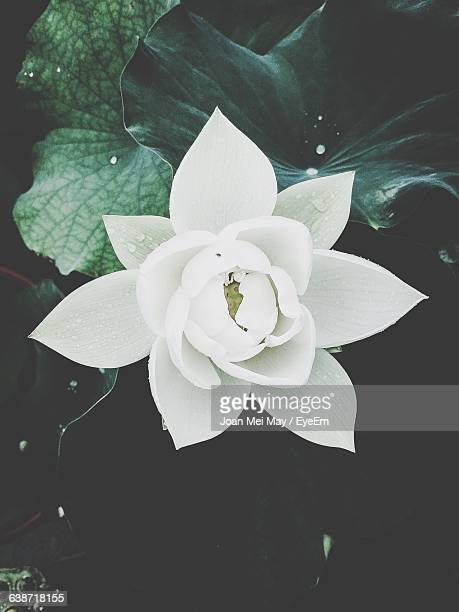 Directly Above Shot Of White Lotus Blooming