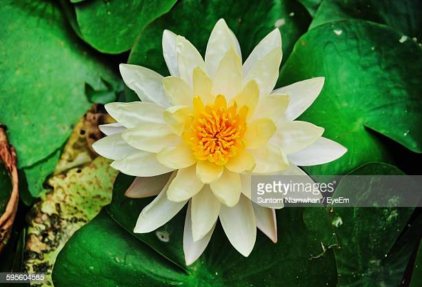 Directly Above Shot Of White Lotus Water Lily