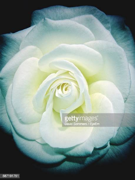 Directly Above Shot Of White Rose Against Black Background