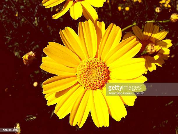 Directly Above Shot Of Yellow Daisies Blooming On Field