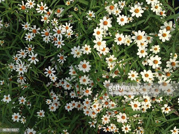 Directly Above View Of Daisies In Meadow