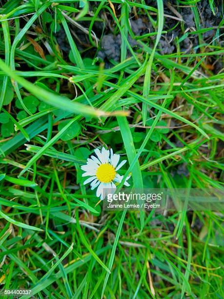 Directly Above View Of Fresh White Flower Blooming Amidst Grass