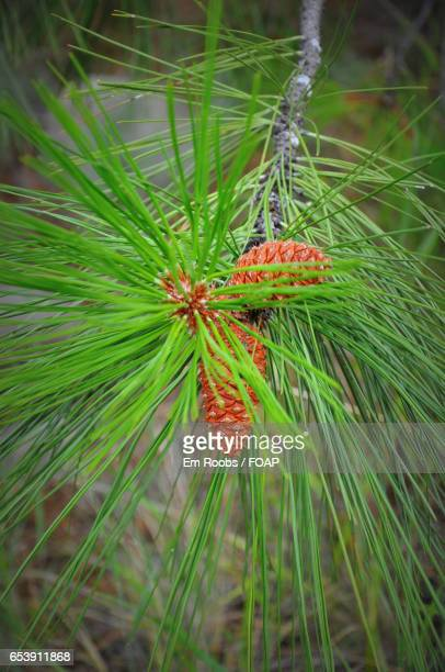Directly above view of pine cones on branch