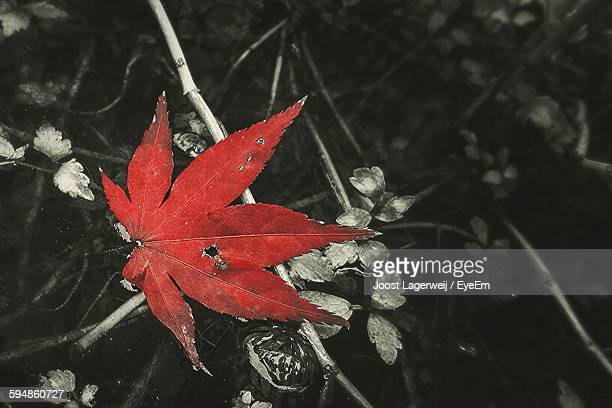 Directly Above View Of Red Maple Leaf