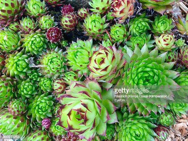 Directly Below Of Succulent Plant
