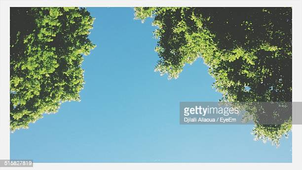 Directly Below Shot Of Trees Against Clear Blue Sky