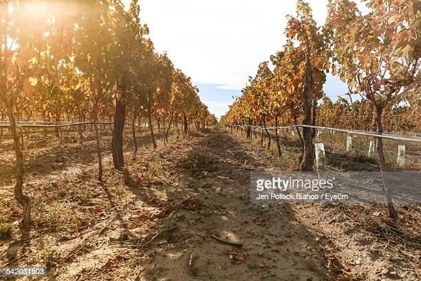 Dirt Footpath At Vineyard Against Sky