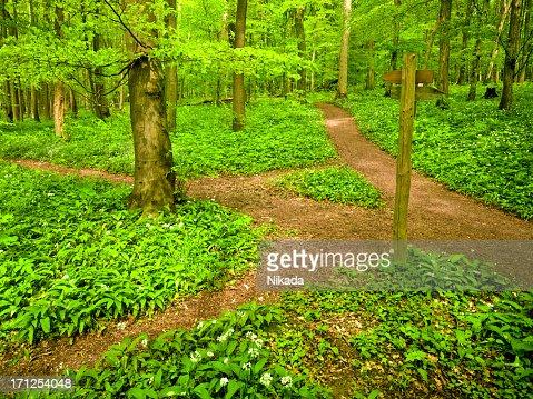 Dirt path through beech tree forest