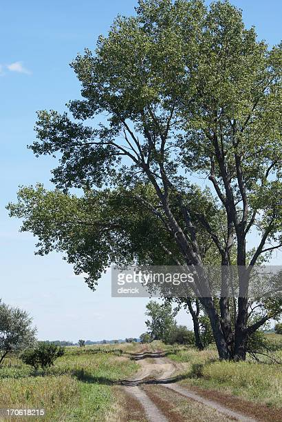 dirt road and cottonwood tree