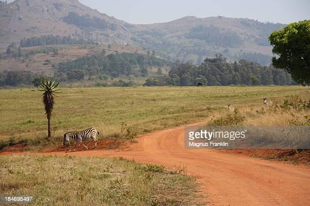 Dirt road in Swazi park with zebra