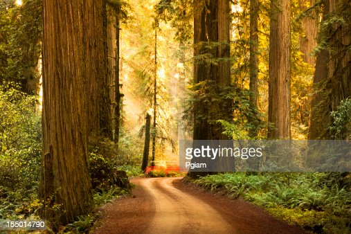 未舗装道路からレッドウッド森林の木