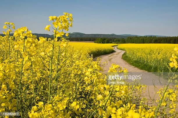 Dirt road through yellow rape field in bloom, Gohrisch spa, Elbe Sandstone Mountains, Saechsische Schweiz, Saxon Switzerland, Saxony, Germany