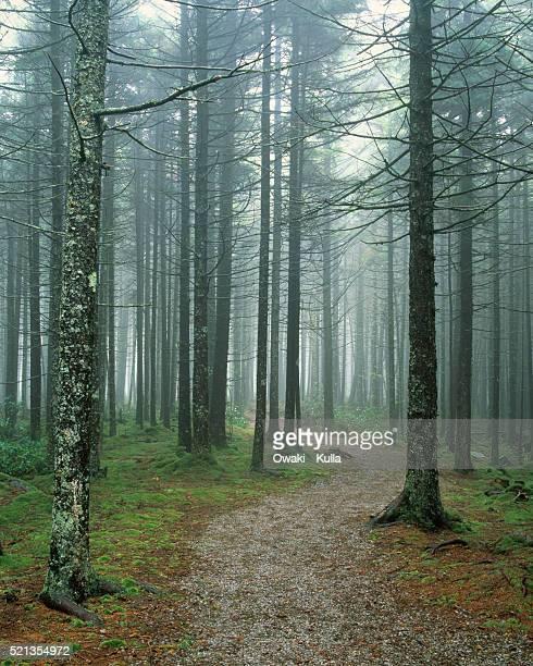 Dirt Trail Through Spruce Forest