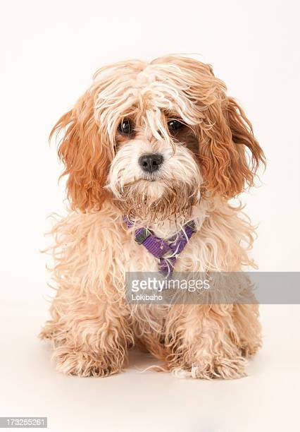 Dirty Cavapoo Puppy