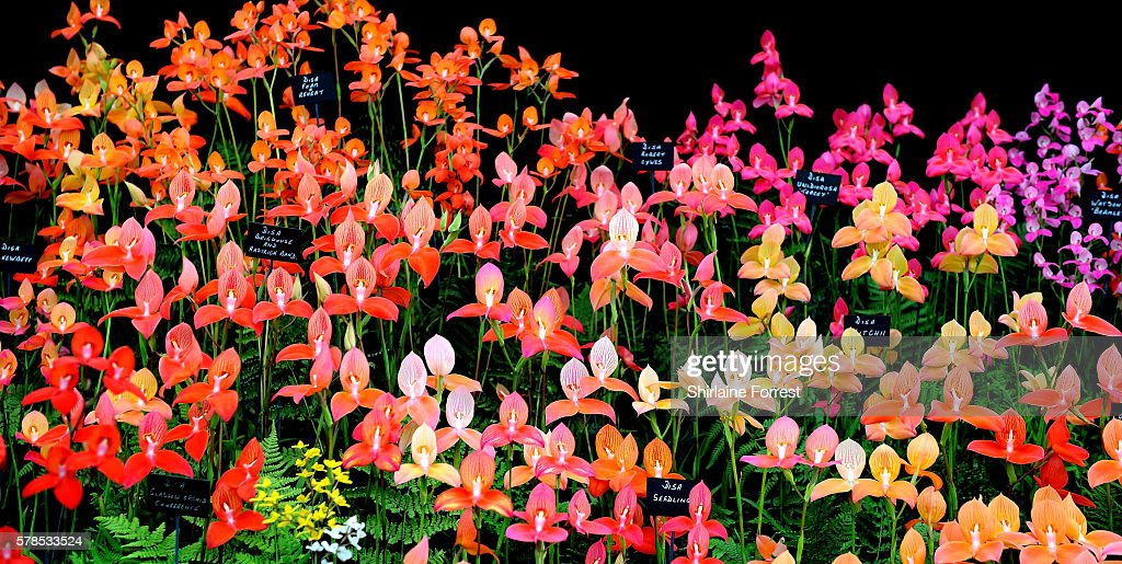 Disa orchids during the RHS Flower Show at Tatton Park on July 21 2016 in Knutsford England