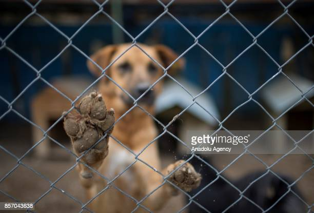 A disabled stray dog is seen in a cage at the shelter in Cayyolu district of Ankara Turkey on October 3 2017 This animal shelter hosts 450 different...