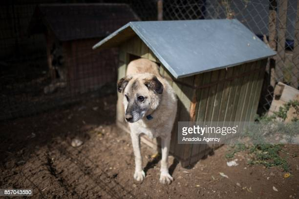 A disabled stray dog is seen in a cottage at the shelter in Cayyolu district of Ankara Turkey on October 3 2017 This animal shelter hosts 450...
