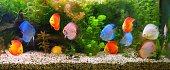 Discus (Symphysodon), multi-colored cichlids in the aquarium, the freshwater fish native to the Amazon River basin