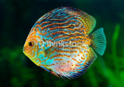 Lancer du disque des poissons tropicaux photo thinkstock for Poisson tropicaux eau douce