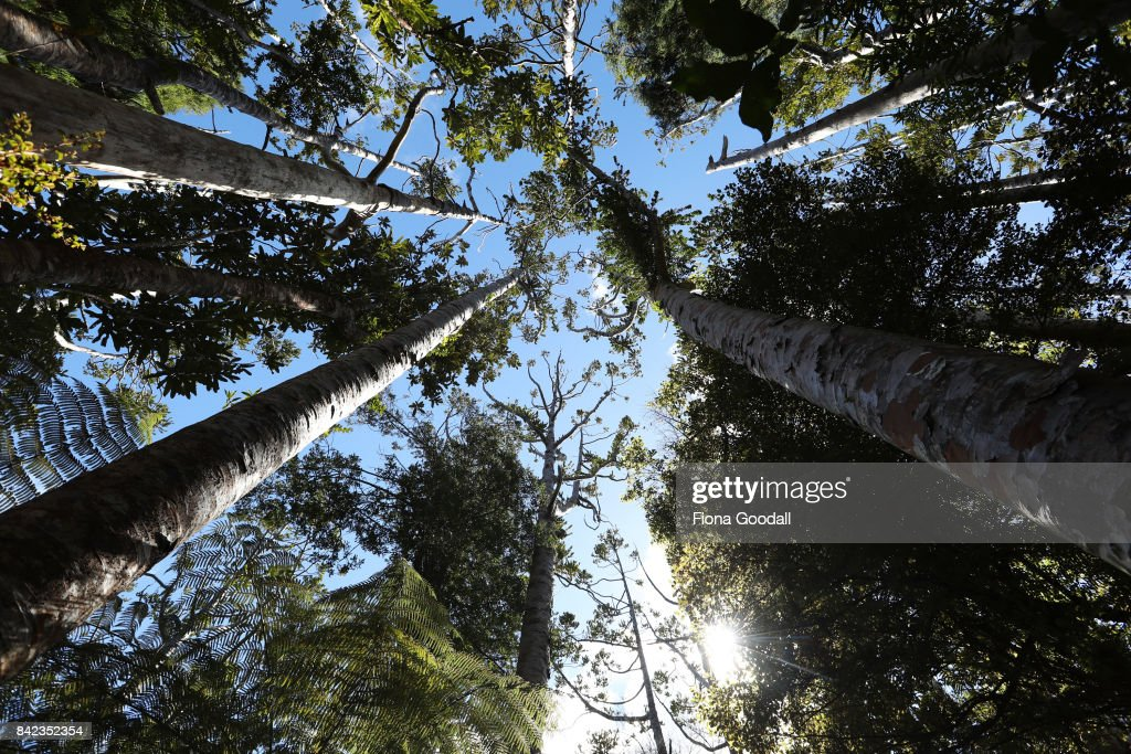 Kauri Forests In Danger As Dieback Spreads Through Waitakere Ranges Regional Park
