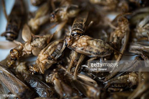 A dish of crickets are displayed in the restaurant 'Aphrodite' run by French chef David Faure on May 2 2013 in Nice France Crickets and worms as...