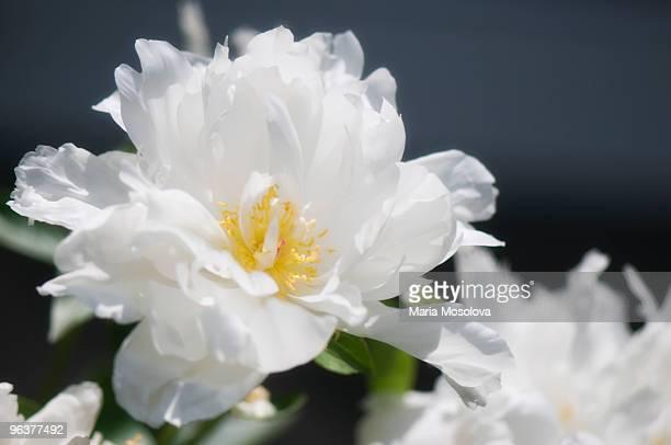 Disheveled Pure White Peony Flower