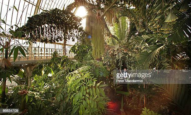 Display Horticulturist Scott Taylor inspects foliage in the Palm House at The Royal Botanic Gardens Kew on March 24 2009 in London