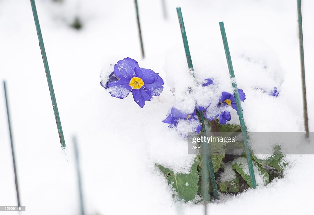A display of Crocus flowers is just visible beneath the snow in St James' Park in central London on January 18, 2013. Snow swept across Britain, forcing airports to cancel hundreds of flights and more than 3,000 schools to close. AFP PHOTO/Leon Neal
