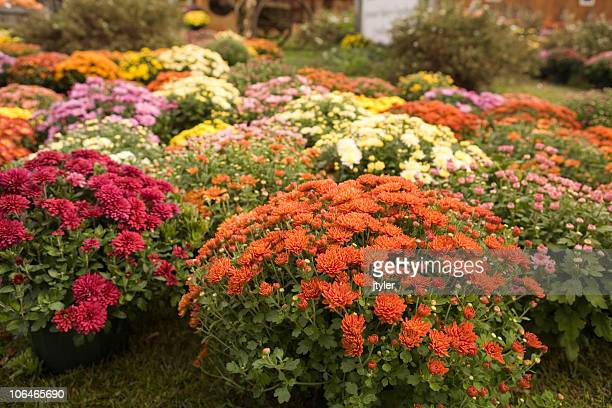 Display of Mums