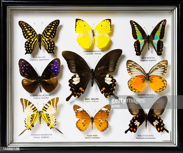 A display of nine different butterflies
