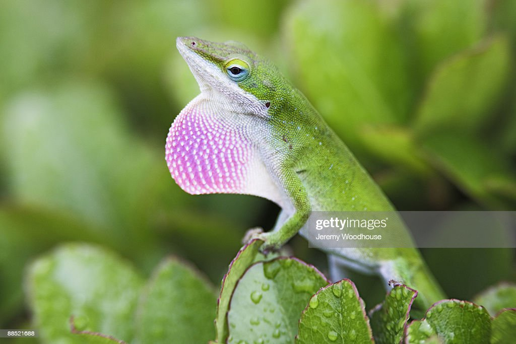 Displaying Green Anole