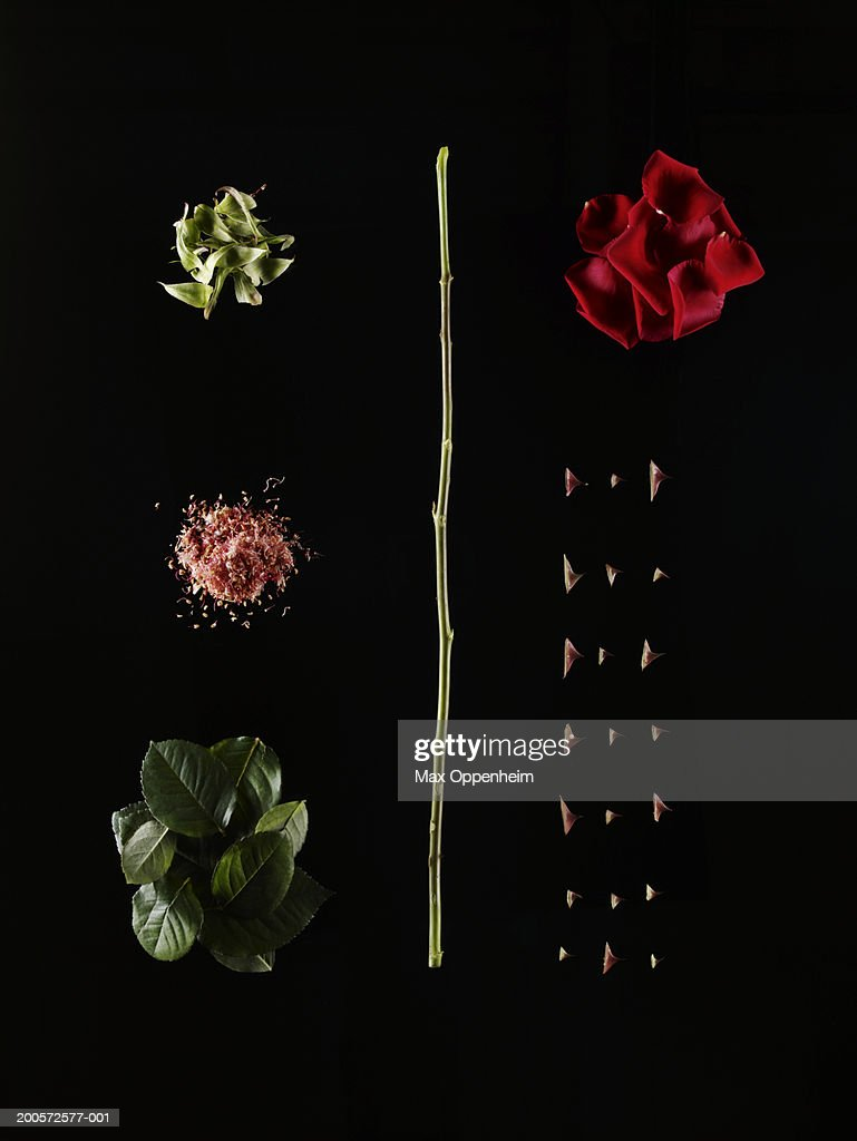 Dissected red rose on black background : Stock Photo