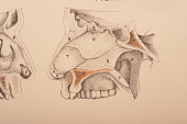 Dissection of the nasal cavity sinus cavity upper palette teeth part of the skull 1882 From 'Illustrations of Dissections in a Series of Original...