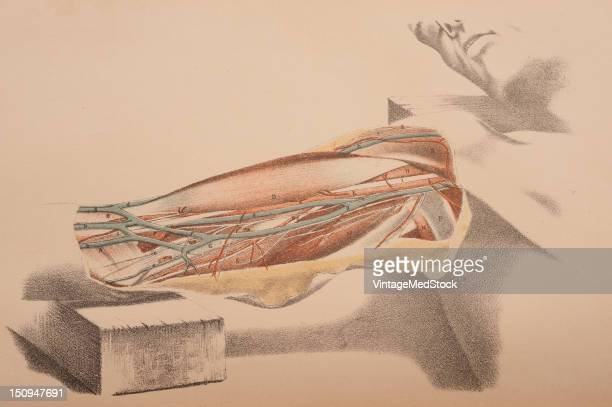 Dissection showing the relative position of the muscles veins arteries and nerves of the inner side of the arm after removal of the skin and deeo...
