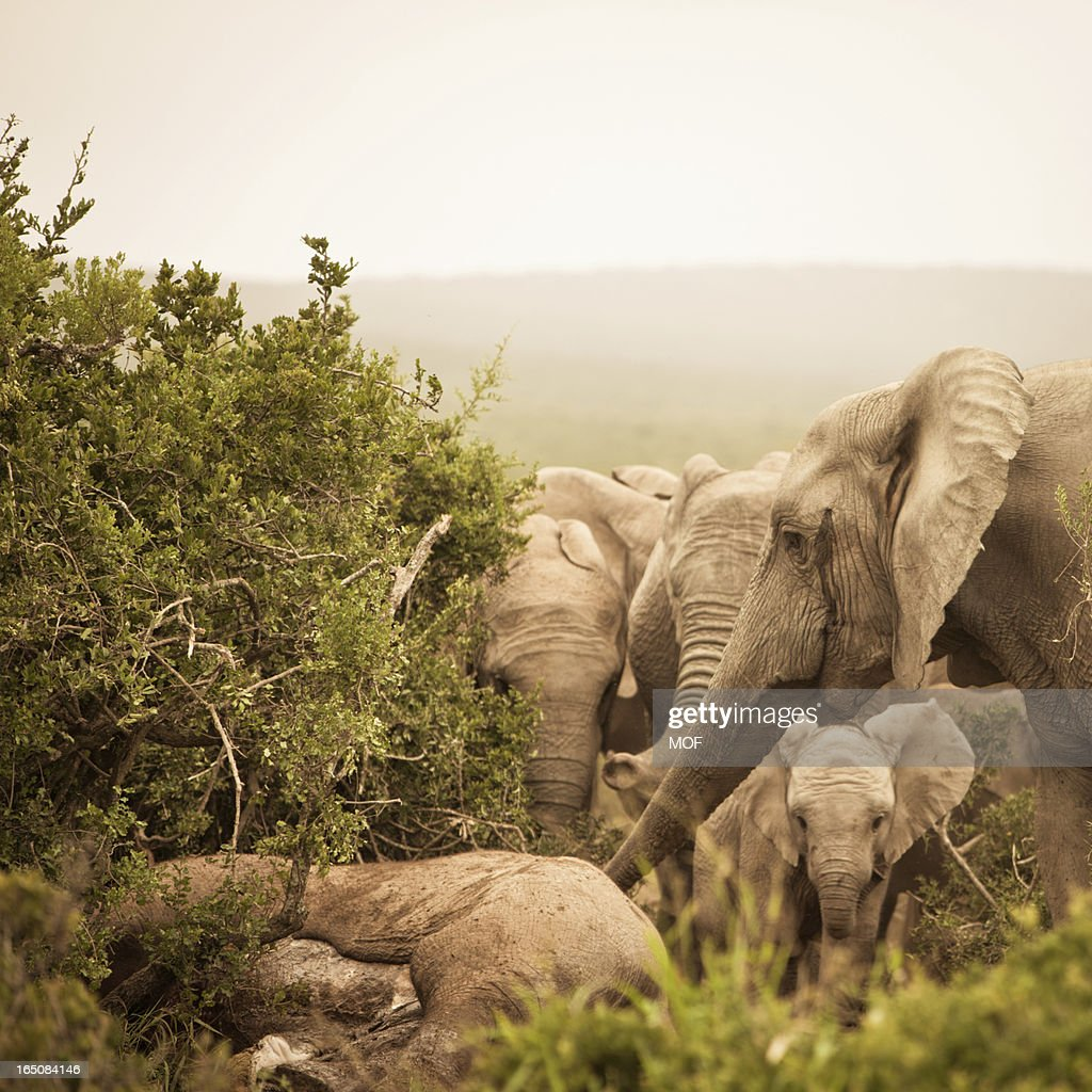 Distressed African Elephants mourning a dead family member