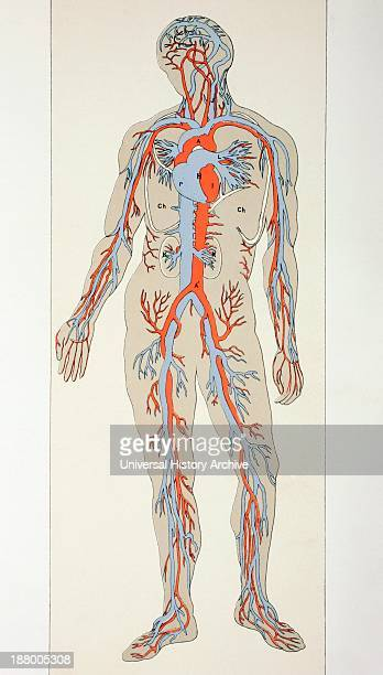 Distribution Of Blood Vessels In The Human Body Arteries Shown In Red Veins In Blue From The Household Physician Published Circa 1890