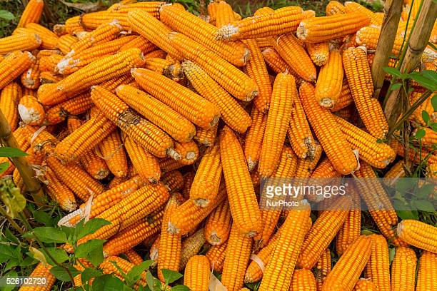 District of BancakSemarang RegencyCentral JavaIndonesia February 15th Some harvest result of corns seen on the ground before placed into the sacks by...