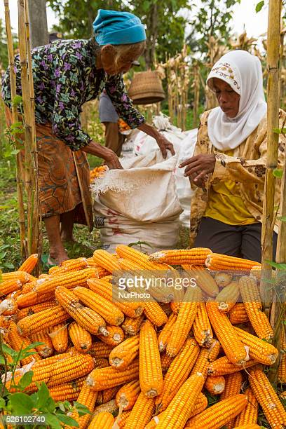 District of BancakSemarang RegencyCentral JavaIndonesia February 15th Some of farmers harvesting corn in Plumutan village District of Bancak Semarang...