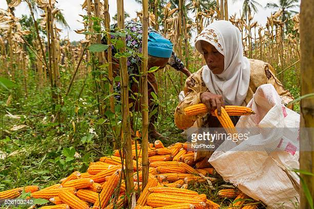 District of BancakSemarang RegencyCentral JavaIndonesia February 15th Sumiati amp her neighbor Pasiyem seen putting one by one corns into the sacks...