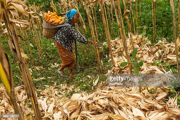 District of BancakSemarang RegencyCentral JavaIndonesia February 15th Pasiyem seen cradling a bucket full of corn as her wage for helping to harvest...