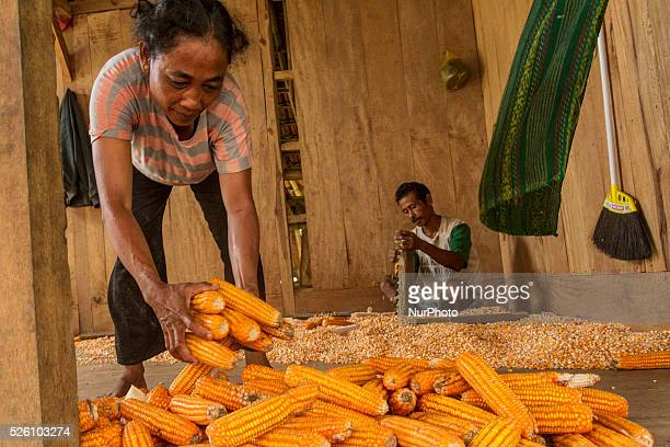 District of BancakSemarang RegencyCentral JavaIndonesia February 15th Salamun's wife seen pick the corns and help him to scrape the corns before...