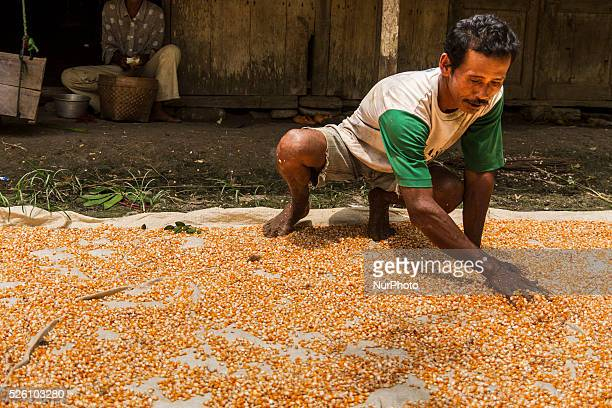 District of BancakSemarang RegencyCentral JavaIndonesia February 15th Salamun seen make the drying process the grains of corns under the sun before...