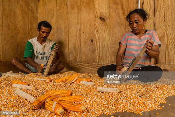 District of BancakSemarang RegencyCentral JavaIndonesia February 15th Salamun and helped by his wife seen scrape the corns before drying process and...