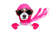 chic fashionable diva luxury  cool dog with funny sunglasses, scarf and necklace, isolated on white background, behind  banner or placard