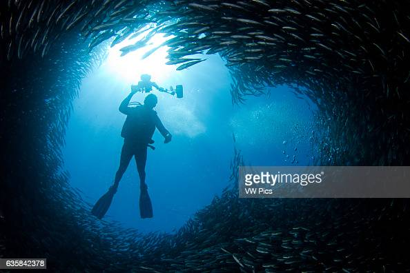 A diver above a chimney like opening in a school of black striped salema Xenocys jessiae Galapagos Islands Equador