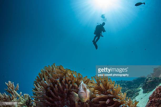 diver and anemone