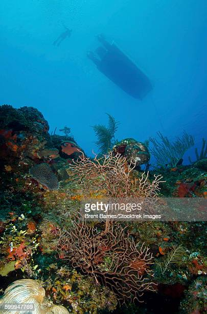 Diver and boat above black coral bushes in French Cay, Turks and Caicos.